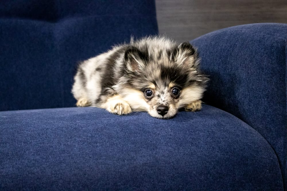pomeranian sitting on a dark blue sofa